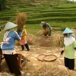 Indonesia rice harvest